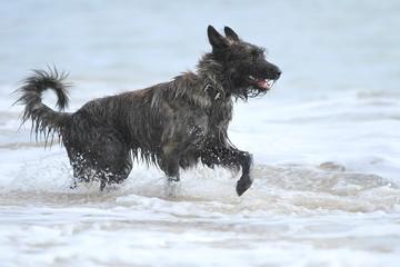 Hund (Berger de Picardie) läuft im Wasser