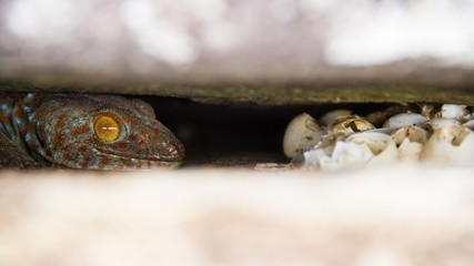 mother gecko guarding eggs in rock crevices.