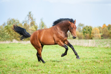 Bay horse running on the pasture in summer