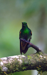 Buff-tailed coronet hummingbird of Ecuador