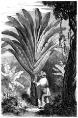 Exotic Tree : Ravenala Madagascariensis