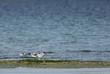 Caspian tern and lesser crested tern