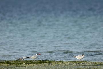 Caspian tern and lesser crested tern