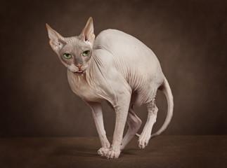 Cat of breed Sphinx