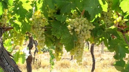 Grappoli di Trebbiano - White Grapes