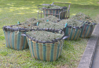 Cutting grass to cart in the garden