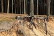 Konar sosny z korzeniami w piaszczystej wydmie.