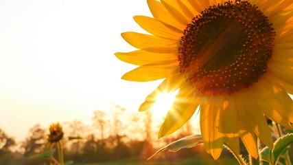 Sunflower field during sunset, Tilt down camera