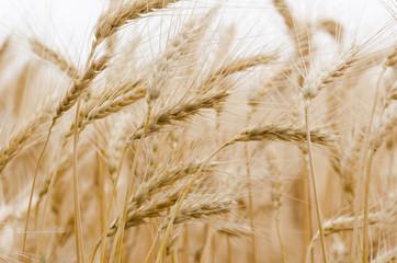 Golden Wheat Field with ripe ears of corn