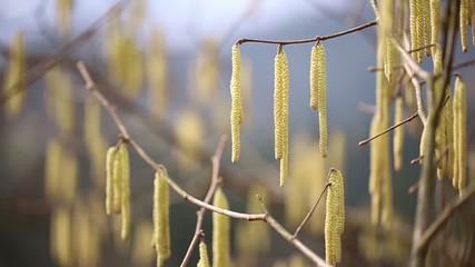 Spring sunny hazel catkin tree