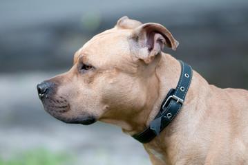 Dog breed Staffordshire Bull Terrier