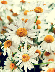 Chamomile Vintage retro hipster style version