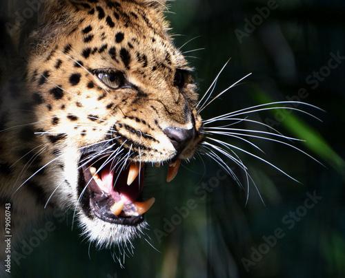 In de dag Luipaard Amur Leopard