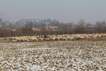 A flock of sheep in a snow covered field