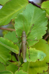 Grasshopper on plant leaf
