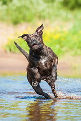 American staffordshire terrier running in water