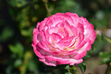 Pink magenta rose in the garden