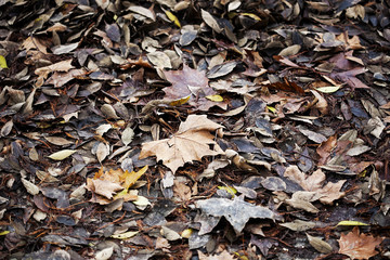 Carpet of winter leaves in the park
