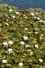 white water lilies growing on lake