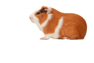 pet Guinea pig isolate
