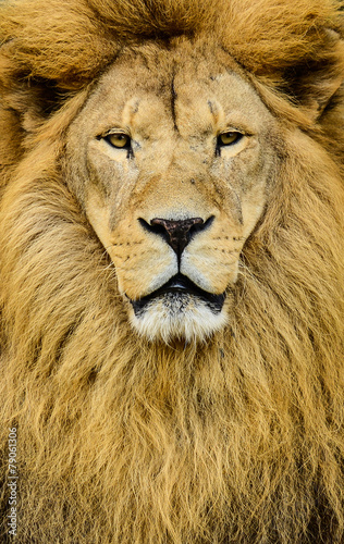 Fotobehang Leeuw Portrait of huge beautiful male African lion