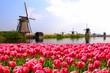 Leinwanddruck Bild - Pink tulips with Dutch windmills along a canal, Netherlands