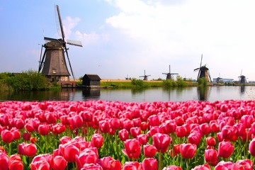Pink tulips with Dutch windmills along a canal, Netherlands © Jenifoto