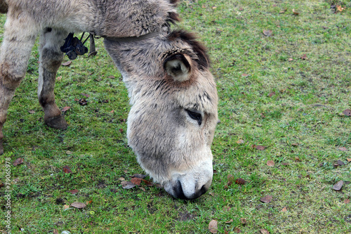 Poster Ezel Brown donkey eating