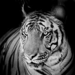 Close up tiger