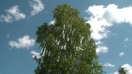 birch swaying against the sky