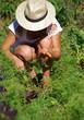 jardinage - récolte de carottes