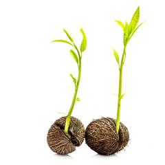 Plant germination