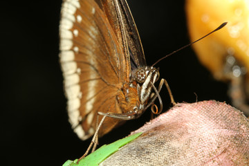 close up brown butterfly