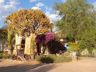 Köcherbaum im Oldtimer
