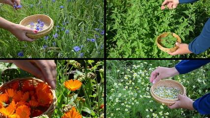Hands gather cornflower mint marigold herb plants. Clips collage