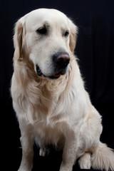 a nice Labrador, retriever
