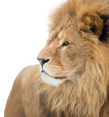 Portrait of a lion. isolated