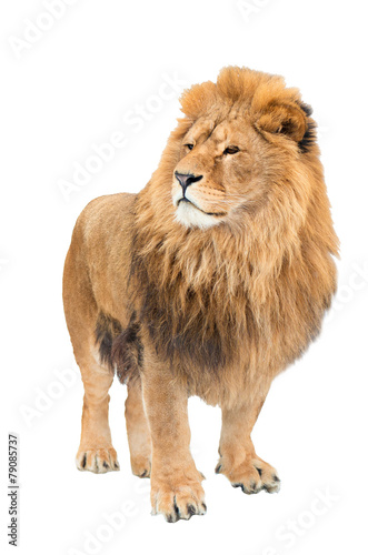 Fotobehang Leeuw The old lion. Alpha male. isolated