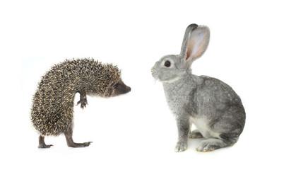 hedgehog and gray rabbit