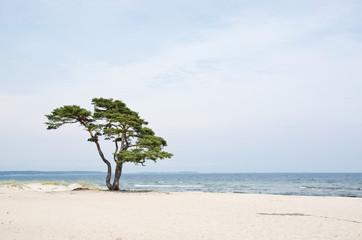 Single beautiful tree on sandy beach in Åhus, Sweden.