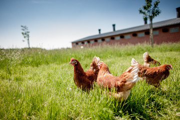 chicken on traditional free range poultry