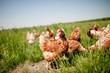 Leinwanddruck Bild - chicken on traditional free range poultry