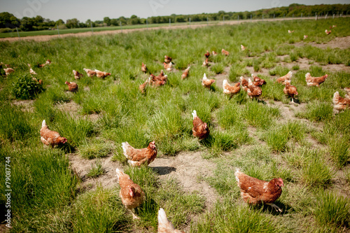 canvas print picture chicken on traditional free range poultry