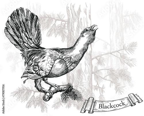 Fototapeta Black grouse