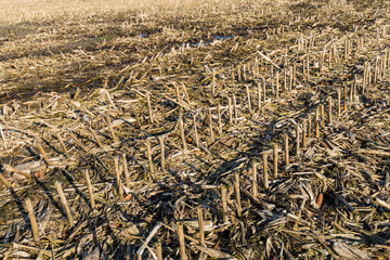 Remnants of corn cultivation on a Belgian field.