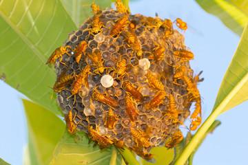 nid de guêpes Polistes hebraeus, île de la Réunion