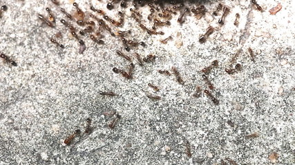 Close up of red imported fire ants eating meat