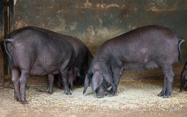Portrait of few pigs on the farm.