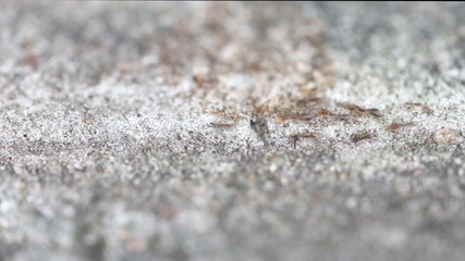 Close up of red imported fire ants running on concrete wall