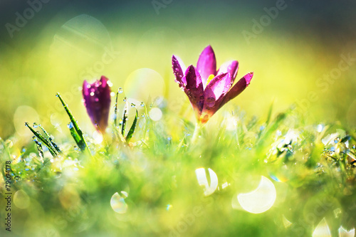Foto op Canvas Krokussen Crocus flowers in a wet meadow